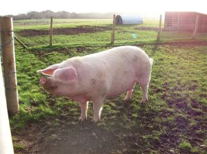 One of Forest View Farm's British Lop pigs